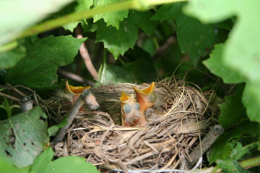Baby Robins nestlings Credit Bill and Vicki T cc by 2.0(1)