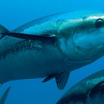 Why A Single Bluefin Tuna Costs 20K