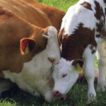 On Grieving Mothers In The Dairy Industry
