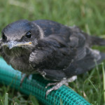 Purple Martin fledgling Credit OakleyOriginals cc by 2.0