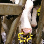 Calves Torn From Their Mothers and Killed for Maker of 'America's Favorite Sour Cream'