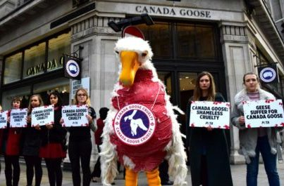 Exposed: Geese Crushed, Suffocated At Canada Goose's Down Supplier