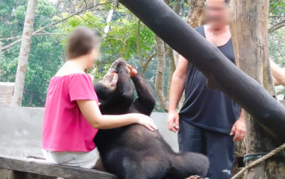 Bear Mother And Cub Being Forced To Pose For Selfies With Tourists On The Indonesian Island Of Bali
