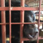Animals Asia Rescue Frees Bears Who Spent 21 Years Trapped On A Bile Farm