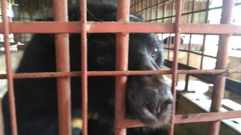 LeBON bear immediately before his rescue by the Animals Asia team.