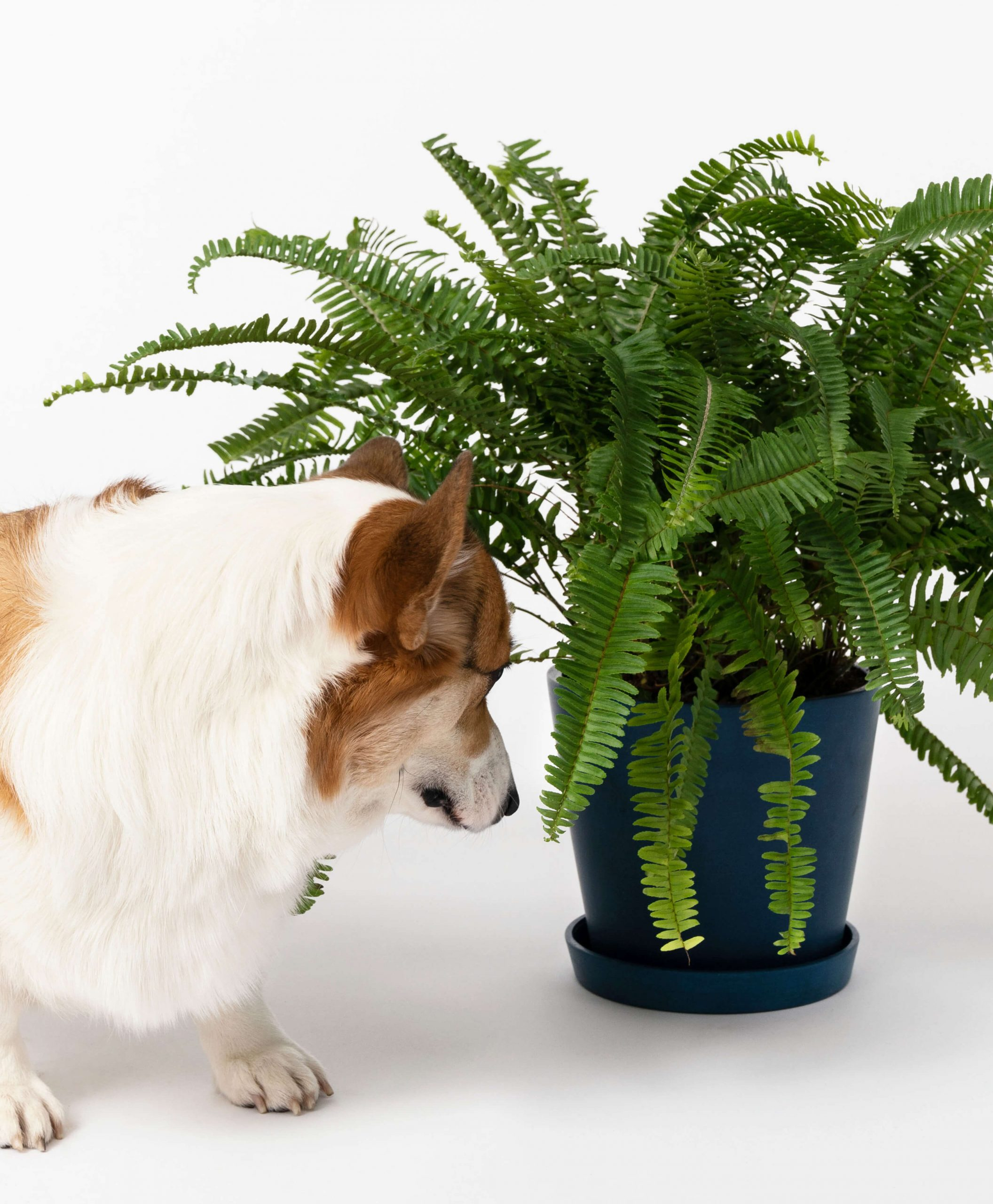 Kimberly Queen Fern - air purifying, pet safe, and fully grown! $65 @bloomscape.com