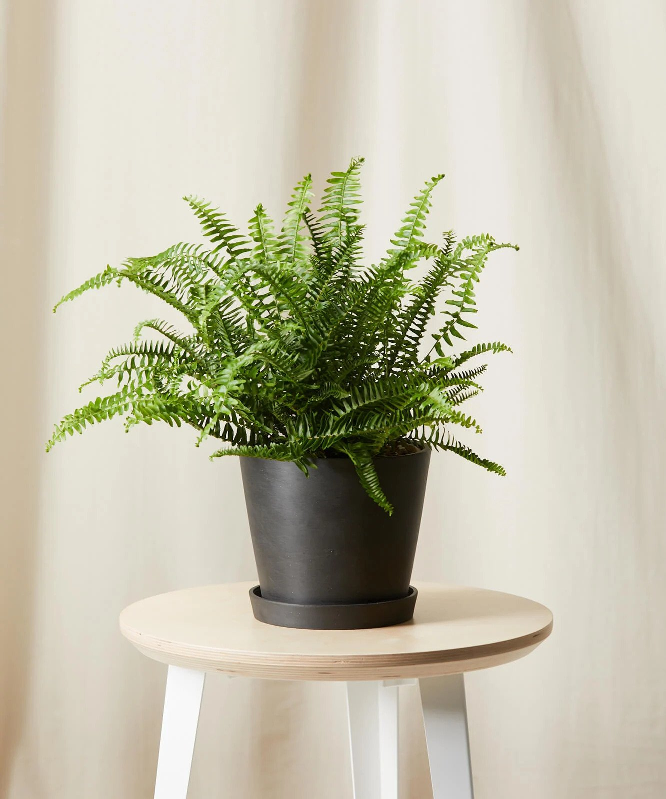Kimberly Queen Fern, $65 @bloomscape.com