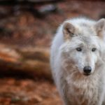 Montana's War On Wildlife: 8 Bills Sentence Thousands Of Native Carnivores To Their Deaths
